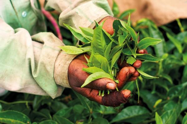 Чайные листья белого пиона
