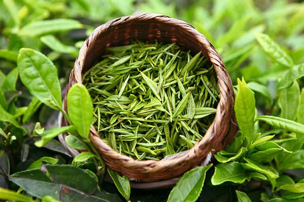 Свежие чайные листья