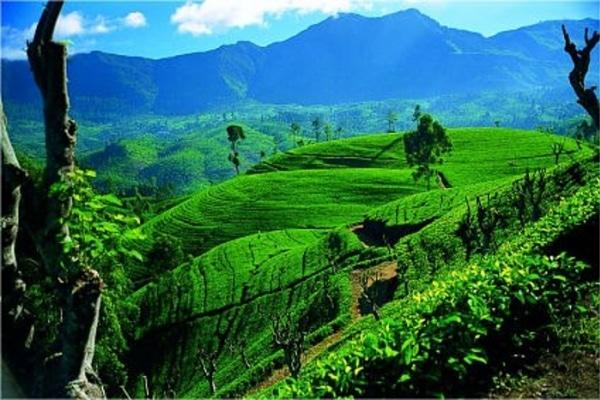 Чайные кусты в Шри-Ланке