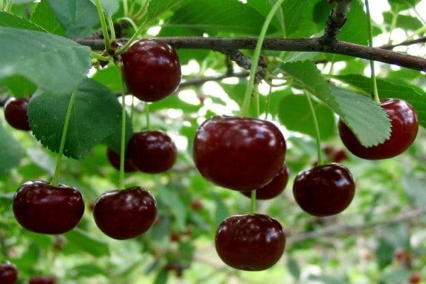Фруктовый чай веточками вишни