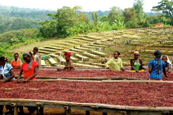 Эфиопия родина кофе