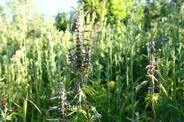 Разновидности и польза травы