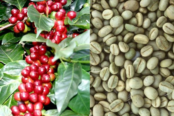 Место выращивания кофейных зерен